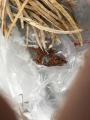 0116_ブロッコリーの種