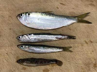 2018年10月21日 魚種