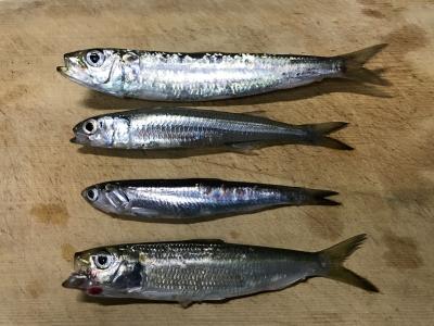 2018年11月23日 魚種