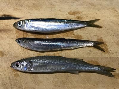 2018年12月2日 魚種