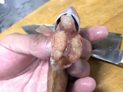 ササノハベラの卵