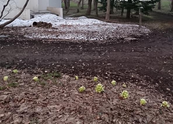 20190406残雪とふきのとう