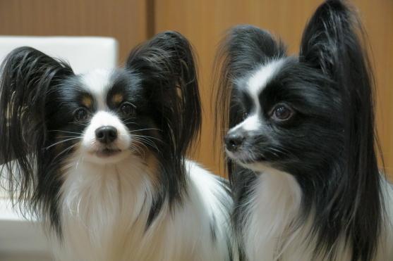 愛犬ヴィレッジ 蓮ぴょん00068770