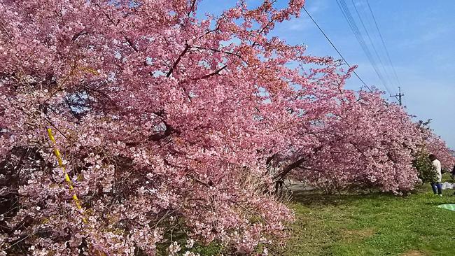乾式クラッチ交換と河津桜