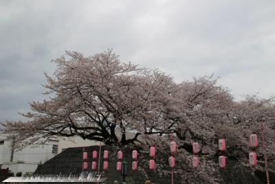 201803Shizuoka-Sakura1.jpg