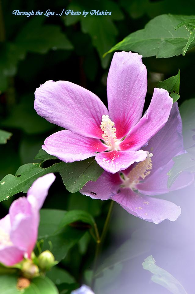 ムクゲ'シハイ(紫盃)'56D3