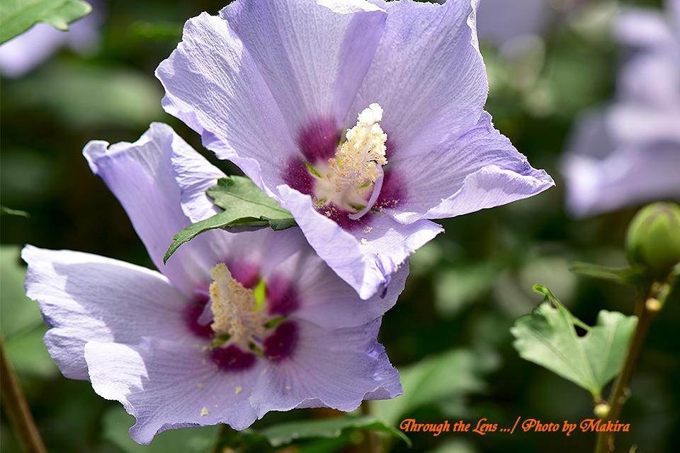 ムクゲ'シハイ(紫盃)'56D4
