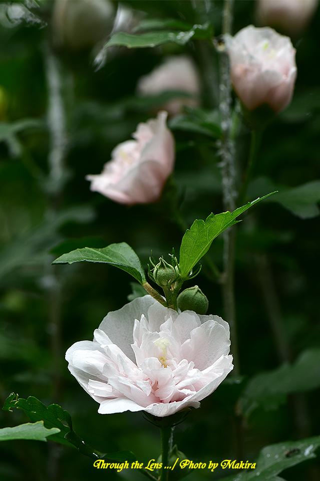 ムクゲ'ミミハラハナガサ(耳原花笠)'56D2