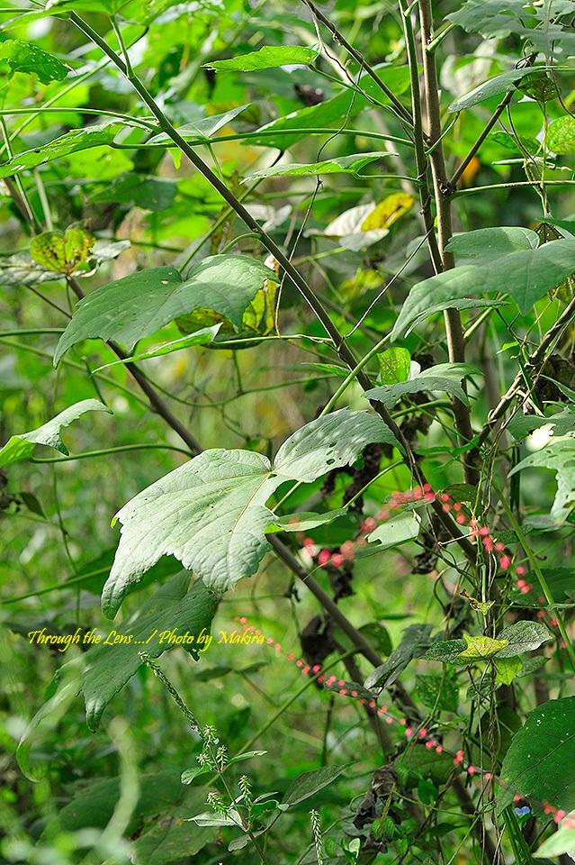 フヨウの葉とイノコヅチとミズヒキ1