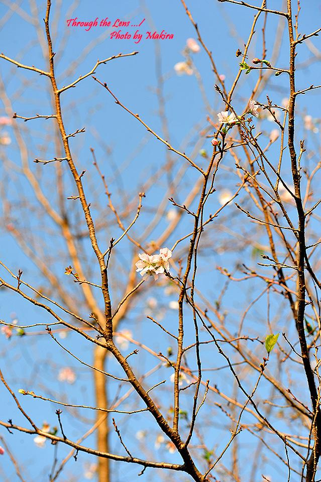 二季咲き桜 アーコレード1