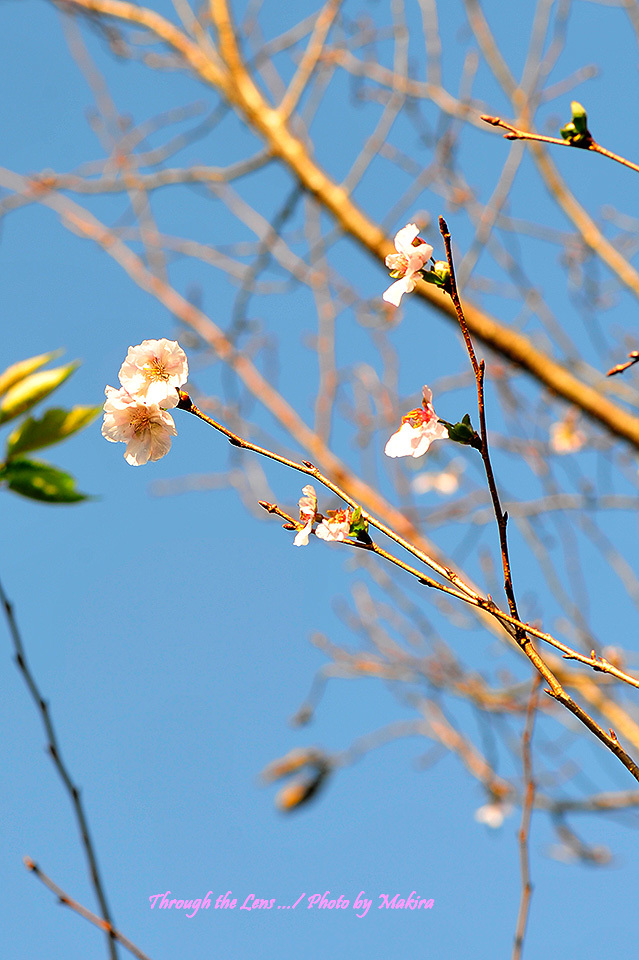 二季咲き桜 アーコレード2