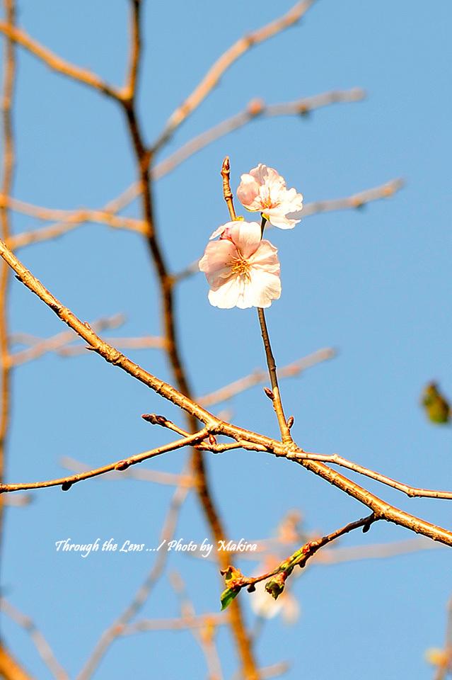 二季咲き桜 アーコレード3