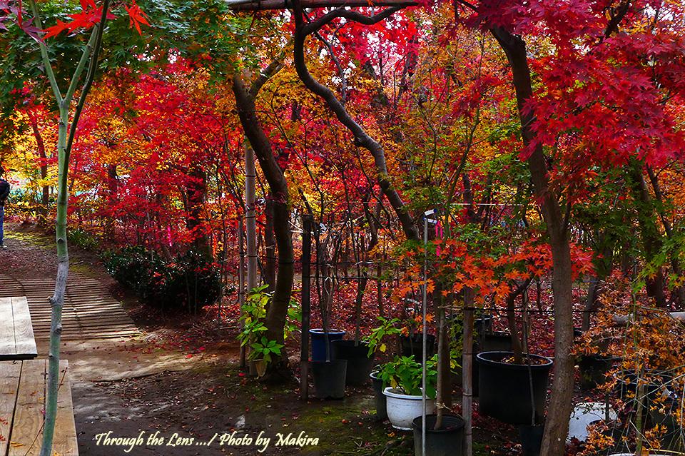 槭樹園TZ2