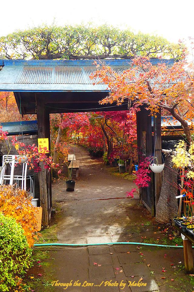 槭樹園の入口TZ1