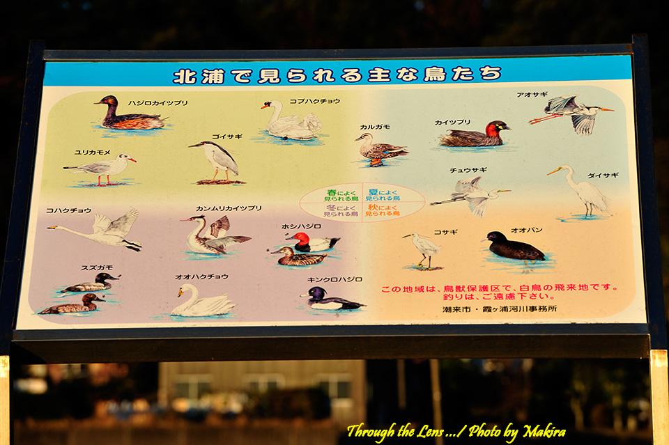 北浦の水鳥1