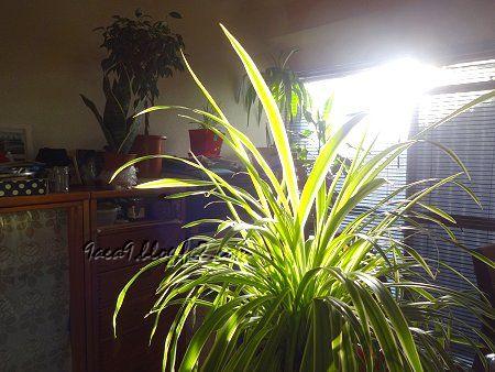 朝日 窓 ブラインド 部屋 植物