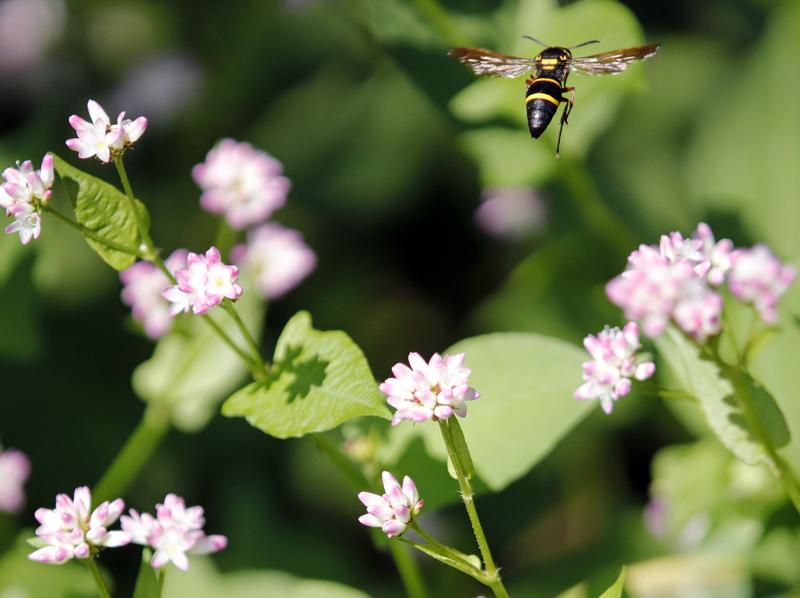 ミゾソバと蜂