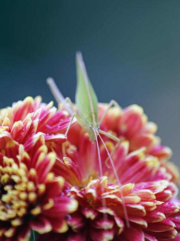 菊とツユムシ