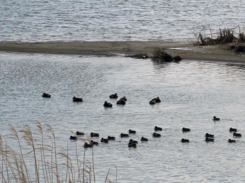 関川と水鳥
