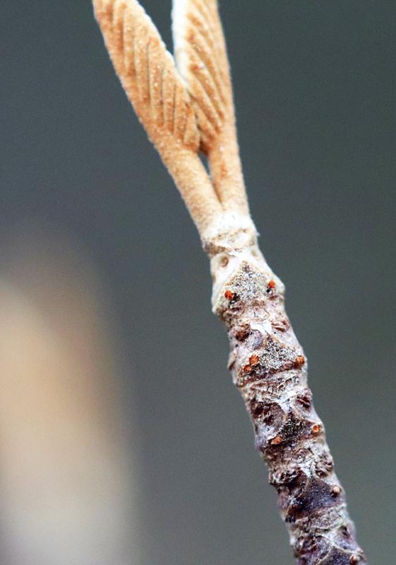 冬芽・葉痕