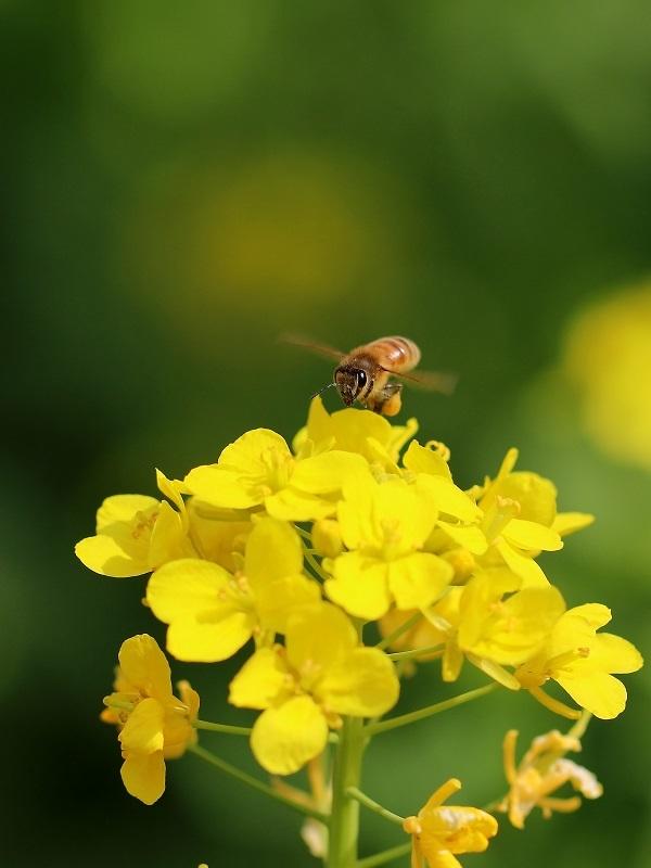 ミツバチs