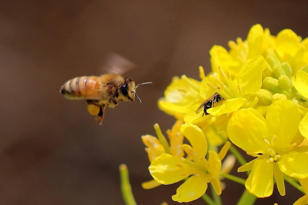 ミツバチ横s