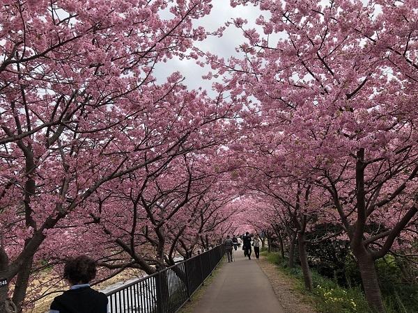 20190222河津桜