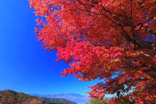 高遠城址公園のモミジと西駒ヶ岳