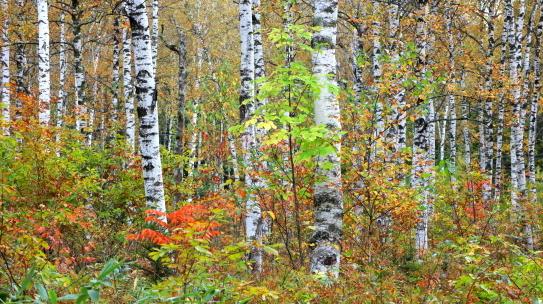 御嶽山の白樺の森