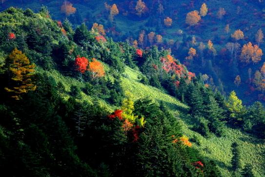 針葉樹林の山肌に黄葉映える