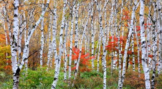 八千穂高原の白樺の純林