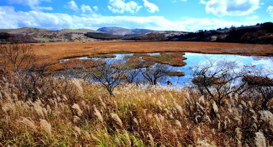 陽光に輝く八島湿原