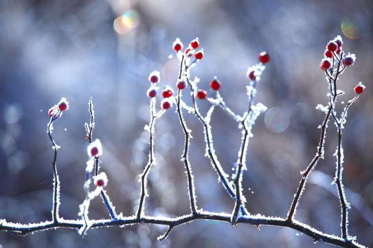 紅の実と霧氷の華