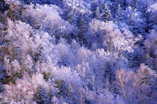 霧氷をまとったダケカンバの森