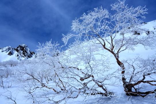 青空に映えるダケカンバの霧氷と宝剣岳