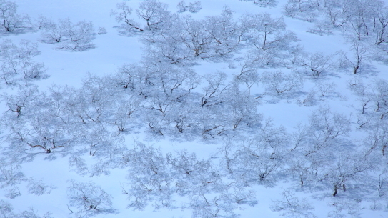 霧氷に覆われたダケカンバの森