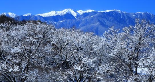 高遠町笠原の桜に冠雪と白銀の西駒ヶ岳