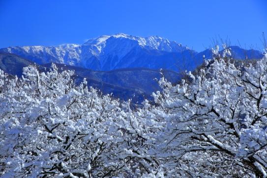 冠雪の高遠町桜並木と仙丈ヶ岳