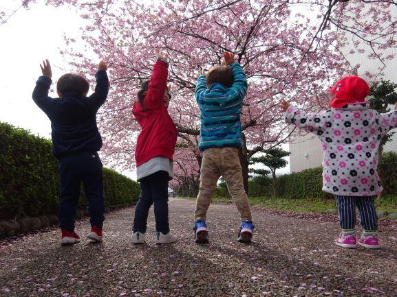 寒桜、満開!