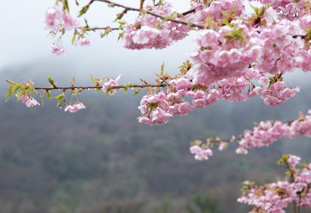霧に咲く桜