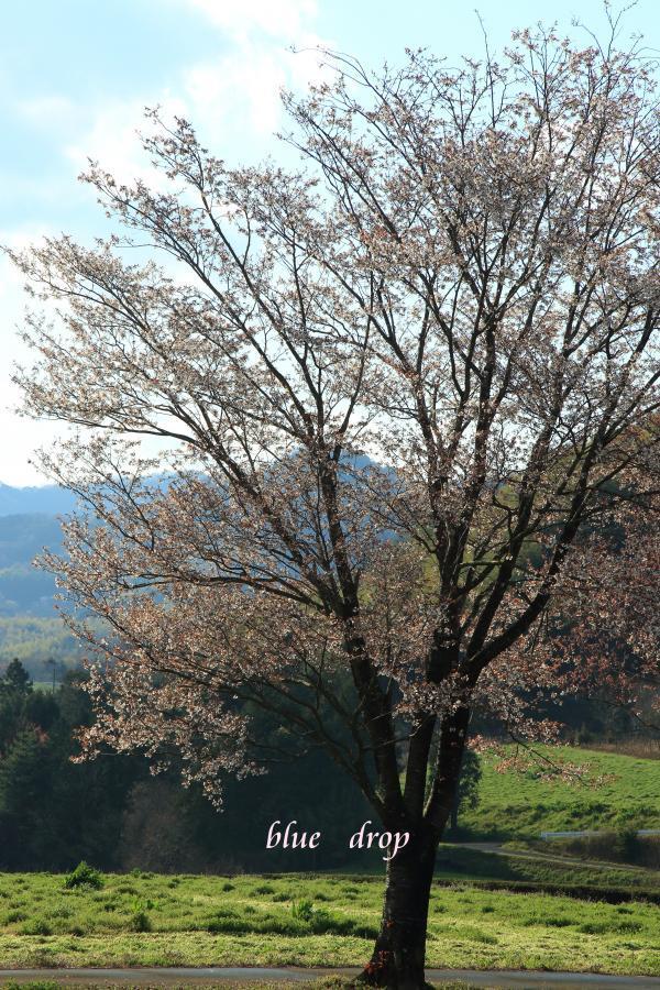 山桜が立つ丘