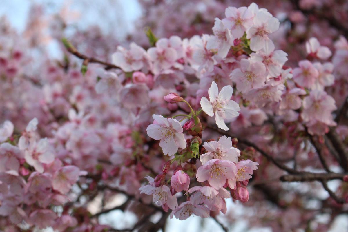 伊東小室桜a 190217
