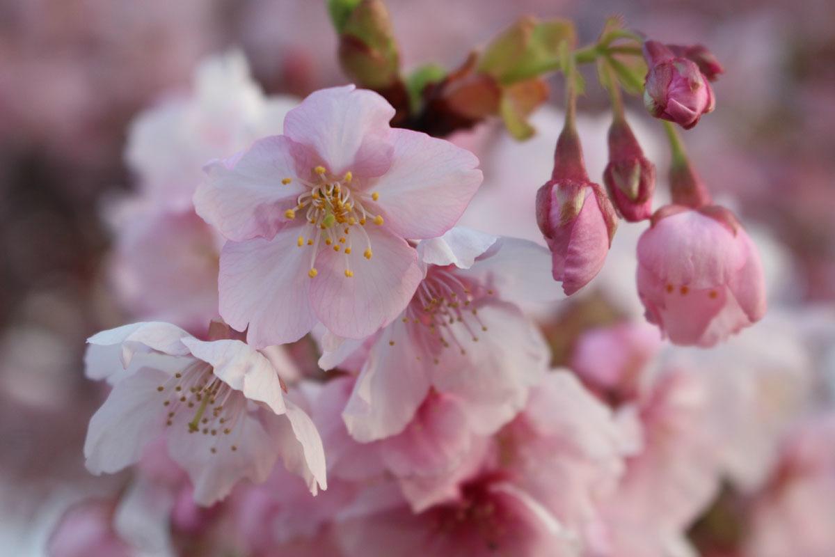 伊東小室桜b 190217