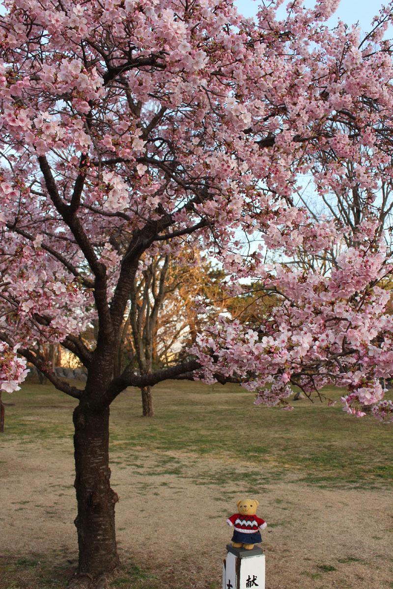 伊東小室桜を見上げるa 190217