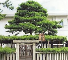 高砂神社相生の松五代目b