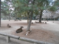 190303興福寺エリアの鹿たち