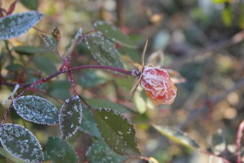 凍ったバラ