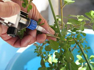 オオバナミズキンバイの茎に薬剤を注入して枯死させる新手法を開発中