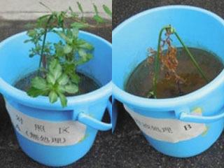 薬剤を塗布していないオオバナミズキンバイ(左)と塗布から20日後のオオバナミズキンバイ