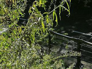 十和田八幡平国立公園内の災害復旧工事跡に生えた外来植物